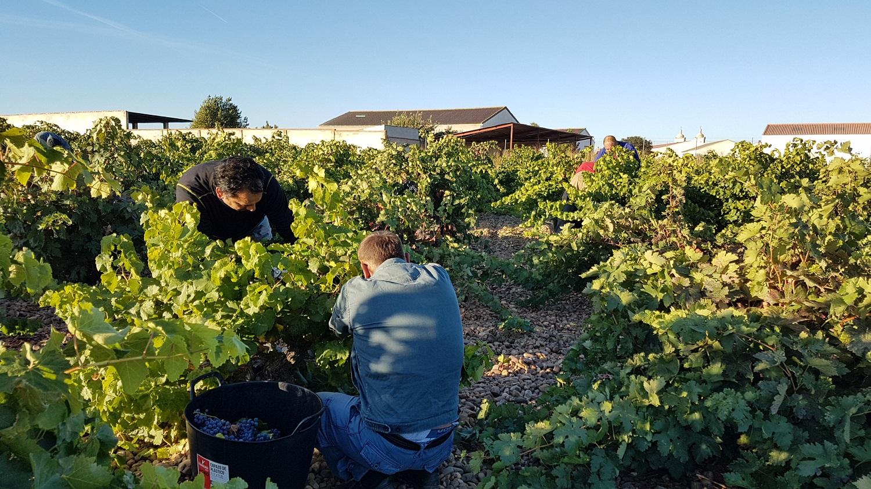 Buen ritmo en la recogida de uva en la DO Cigales