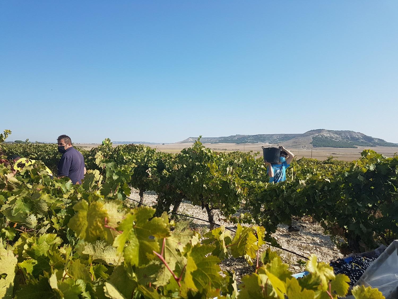 La DO Cigales finaliza la vendimia con la recogida de  cerca de 8,2 millones de kilos de uva