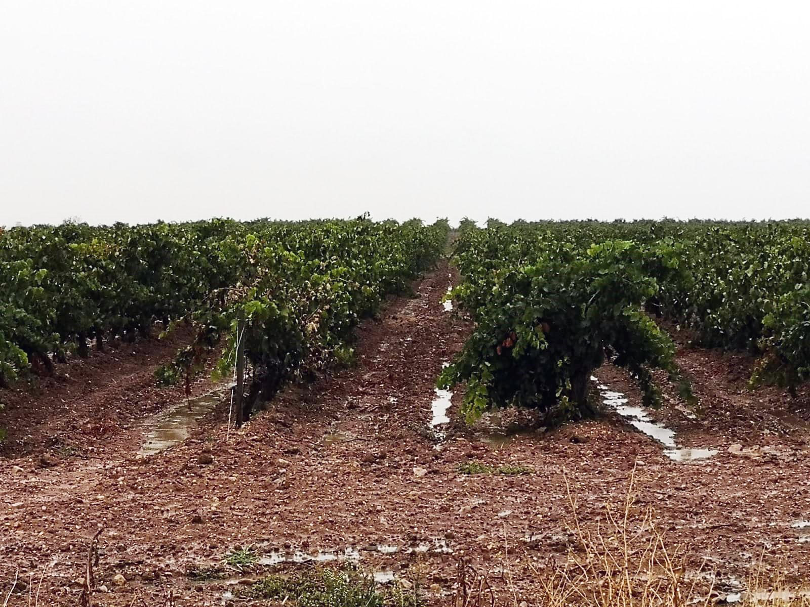 Las lluvias posponen el inicio de la vendimia en la DO Cigales